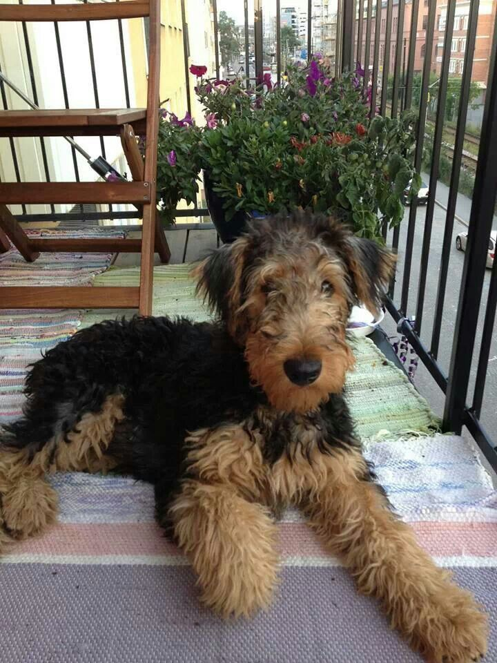 Airedale Terrier Next To Human - Pets Lovers