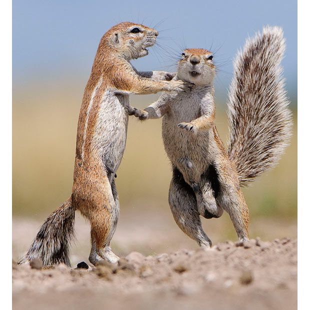 Best Squirrelz Images On Pinterest Funny Squirrel Funny - Squirrel photographed in heroic pose becomes star of hilarious photoshop battle