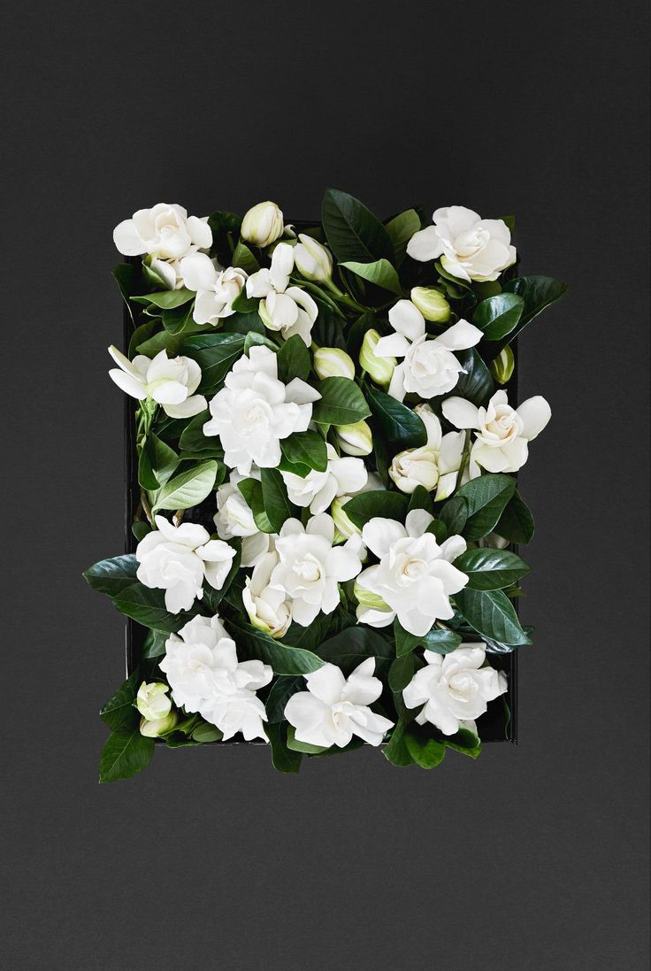 High Camp Event Box - 100 Gardenias - High Camp Supply is proud to offer our event size box, which includes 100 gardenias. Choose from the dropdown below to select how many vines you want vs blooms. Order as many boxes as needed as we can happily accommodate large orders for events. Blooms are great place settings and scattered for tablescapes, floating in water and creative cocktails, or building your dream floral installation. Hand out to guests to toss in the air after your first kiss, or…