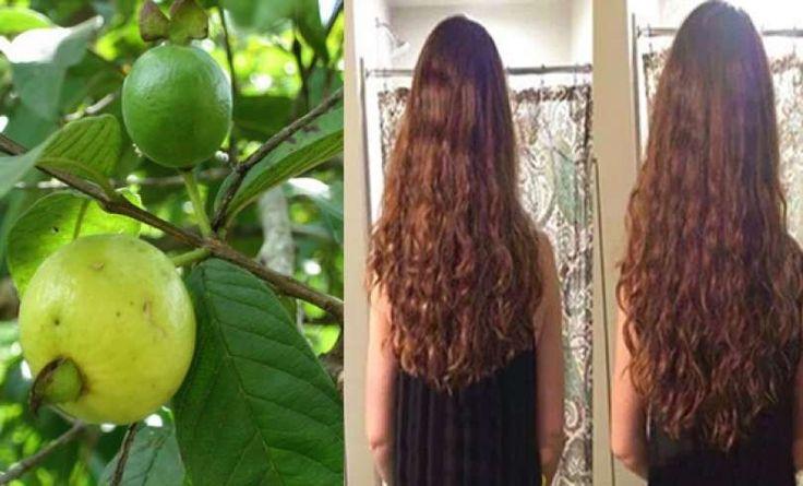 La caída del pelo es algo que provoca una gran preocupación en cualquier persona, es hora de ponerle fin utilizando las hojas de guayaba de esta manera...