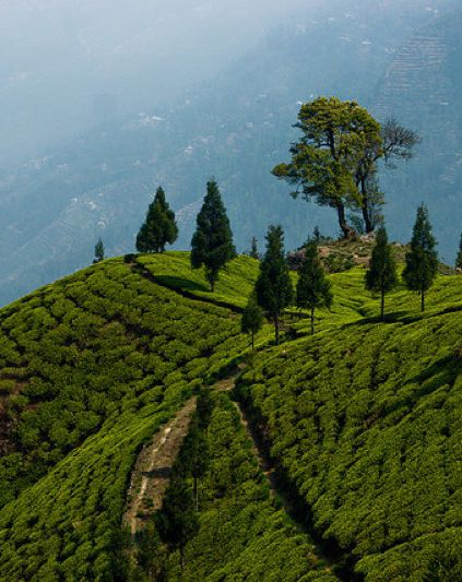 Darjeeling,India: home of one of my favorite teas. (I want to go to there!)
