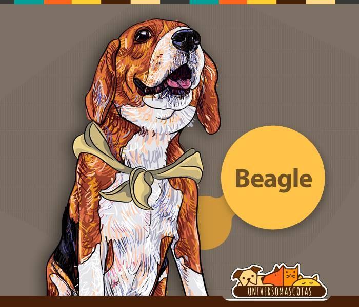 #SabiasQue La nariz del Beagle tiene 220 receptores olfativos que convierten su nariz en una de las más desarrolladas del mundo canino. Conoce más de nuestra #Razadelmes de julio en: http://www.universomascotas.co/razas/perros/beagle/98?page=