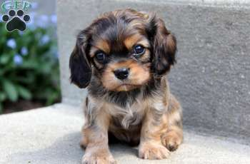 cavapoo : )..... this one also looks like my Bailey did as a baby.