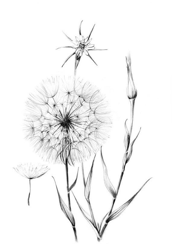 Dandelion Sketch Wild Flower Clipart Hygge Line Drawing Etsy Pencil Drawings Of Flowers Flower Line Drawings Flower Art Drawing