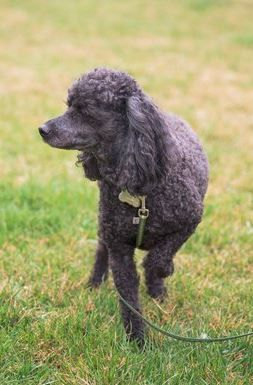 Training for a half marathon and looking for a training buddy? Different dog breeds have various running styles. For example, Poodles run slow and steady which make them a great running partner. Learn more about what dog breeds are good for long distance running here!