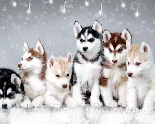 Baby fotografie husky psa pro android | Vtipné a roztomilé černé HD Pet pes a kočka fotografie, obrázky, obrázky a fotografie Galerie