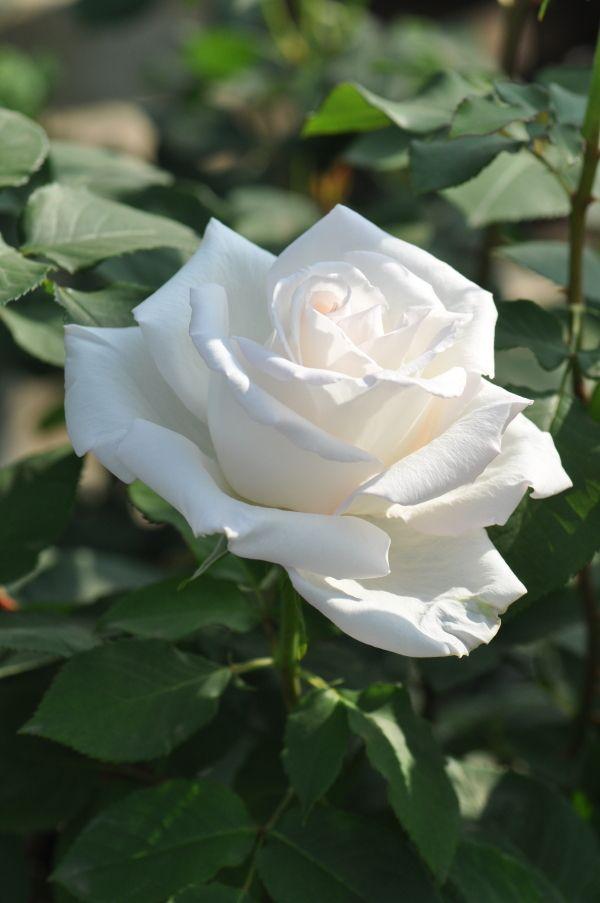 【バラ苗販売専門店】(イングリッシュローズ・デルバール等、ありとあらゆるブランド)バラ栽培資材なども取り扱い、バラの通販は年間50000件の実績があります。