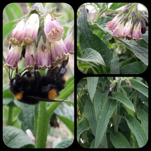 Comfrey in Spring. Keeps the bees happy and provides heaps of leaf for a comfrey tea fertilizer.