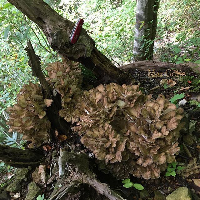 【mangoro326】さんのInstagramをピンしています。 《Maitake #fungi #grifolafrondosa#hen_of_the_woods #maitake#ナラ舞茸#舞茸#まいたけ#マイタケ#きのこ #菌#菌類#天然#森#森林#山#nature#天然舞茸#mushroom #mushrooms #forestfungifreaks#fagus#mycology#mushroomsociety #mushroomhunter#mushroomhunting》
