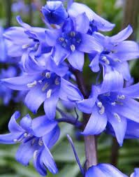 Canberra Signature Royal Bluebell