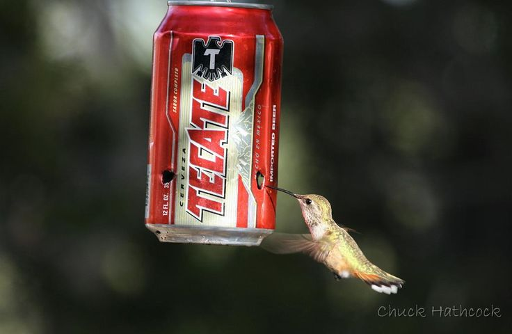 Apparently, you can use a soda can as a hummingbird feeder in a pinch! Photo by  Chuck Hathcock in New Mexico, via Expedition PortalHummingbirds Photos, Chuck Hathcock, Beautiful, Hummingbirds Feeders, Expedit Portal, Apparment, Neat Hummingbirds, Animal, New Mexico