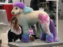 Blue Dyed Standard Poodle 57 best Wild Animals I...