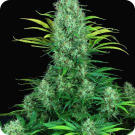Serious 6 - strain - Serious Seeds | Cannapedia