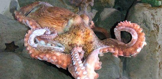S.E.A. Aquarium - Giant Pacific Octopus