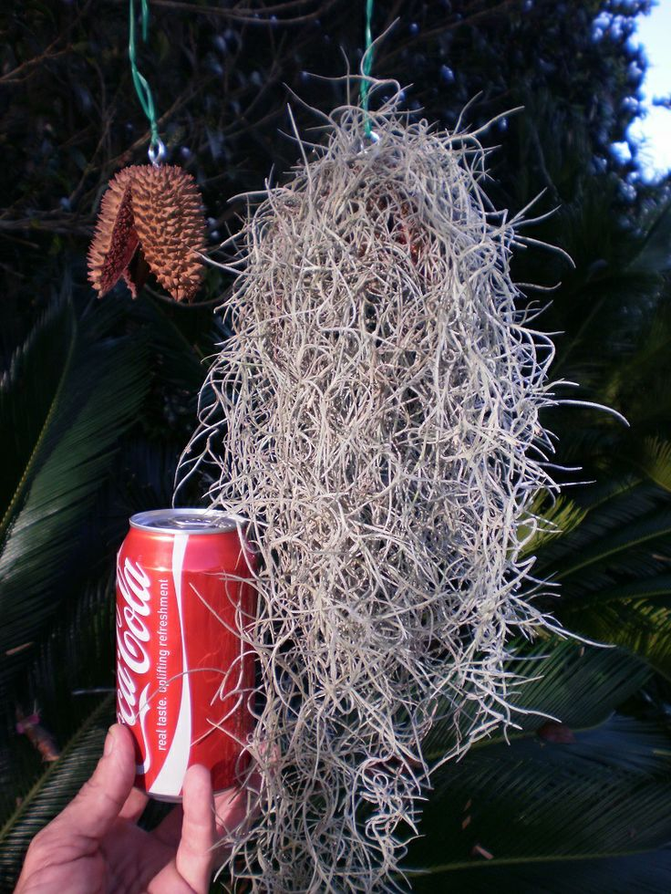 Air Plant, Old Mans Beard, soil less, easy care, currently selling on E-bay