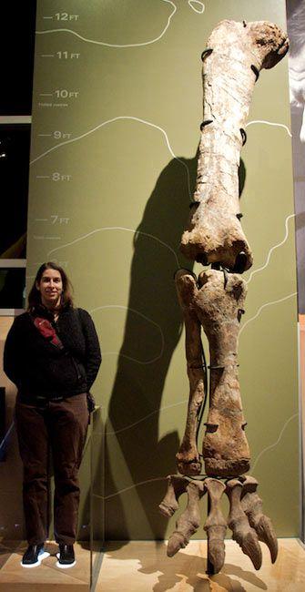 Jambe d'un Camarasaurus