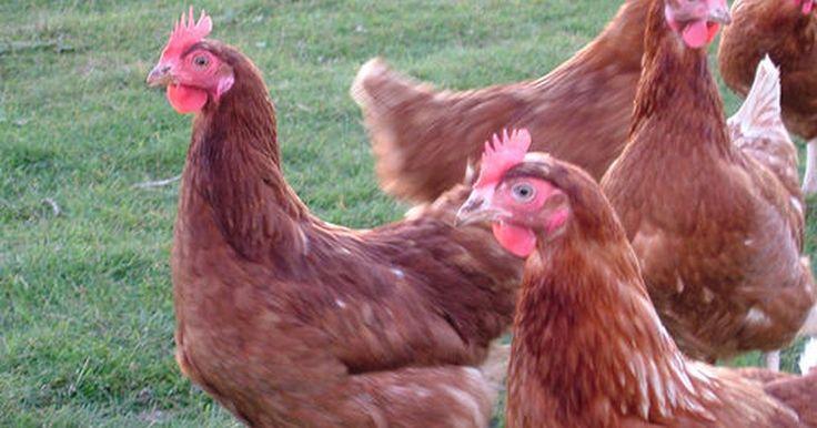 Cómo iniciar un negocio de granja de gallinas. Iniciar un negocio de granja de pollos requiere mucho más que simplemente comprar unas gallinas y ponerlas en un corral. Necesitas saber acerca de las diversas razas de gallinas y el tipo que deseas criar. También necesitas saber sobre la construcción de un gallinero, la cría de pollos, su alimentación y como protegerlas de los depredadores.