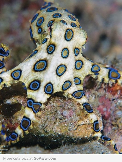 Deadly Beautiful- Blue Ringed Octopus