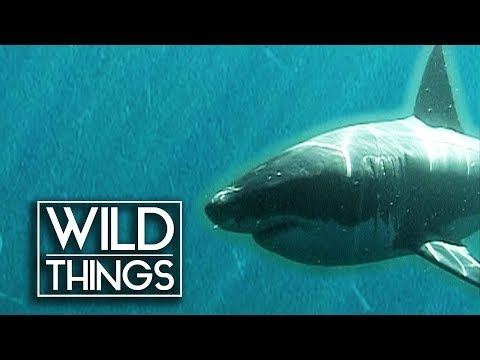 Myths Of The Great White | Wild Things Documentary - YouTube | Ocean Interests!