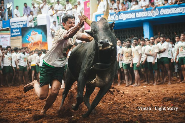 It's only seconds that separates life and death in these arena. Once the bull comes out of vaadivasal (entrance through which the bulls enter the arena) the players have to ride them for 3 gallops to tame the bull. But they can only let themselves off from the bull when they are safe, else the bulls can turn back!