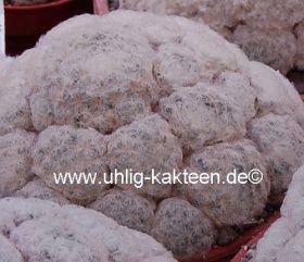 Uhlig Kakteen Mammillaria plumosa 'Golfball' | Stachel-Shop