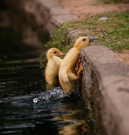 I love baby duckies.
