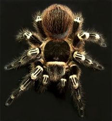 """""""Brazilian Giant White Knee"""" Tarantulas For Sale @ Jamiestrantulas.com These spiders arrive well packaged and healthy. I don't think I'll ever buy any where else. What's better then having EXACTLY what you want arriving at your door? In 2-3 days! Plus, this is America...support small business instead of chain pet stores! ;-)"""