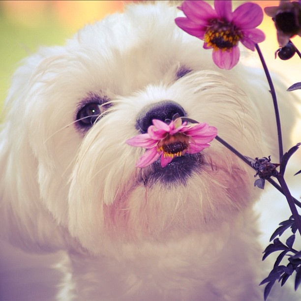 17 Best Images About Bichon Frise On Pinterest