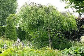 Betula pendula Youngii / Берёза повислая Юнги