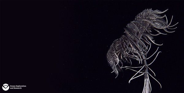 A rarely observed black crinoid, seen at ~770m depth in Coral Triangle Region.   NOAA Ocean Explorer (@oceanexplorer) | Twitter