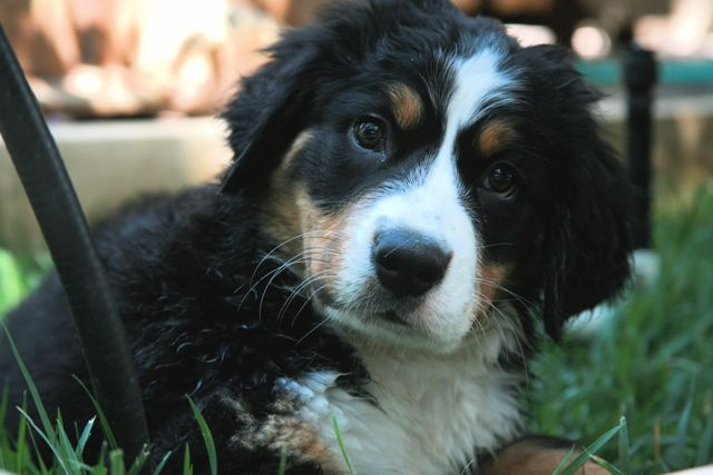 Gracie - pup