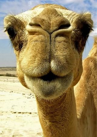 I went on a 4hr camel ride in the Colorado river basin, sweetest camels in the world.