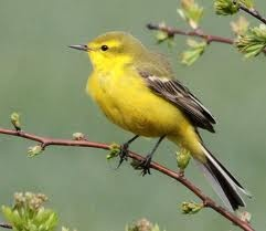 Yellow Wagtail has been split into 2 species: Western Yellow Wagtail, Motacilla flava Eastern Yellow Wagtail, Motacilla tschutschensis