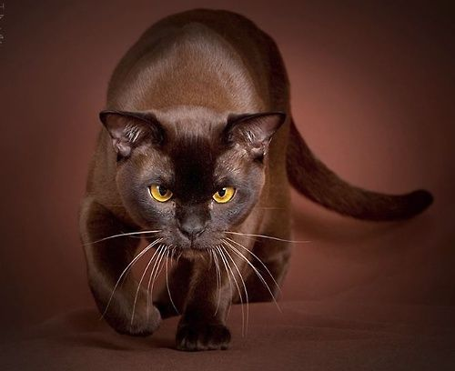 Beautiful Burmese Cat I LoVe it when Misery does this panther pose!