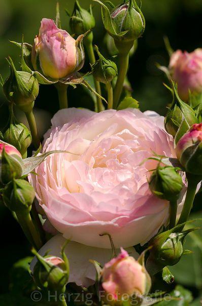"~""Andre brichet"" - Rose. Belgium 1994. Floribunda. Cream rose with pink shadings. Moderate fragrance, Melrose (floribunda 1985) x Mary Rose."