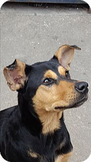 Seattle, WA - Dachshund/Miniature Pinscher Mix. Meet A - PRINCESS, a dog for adoption. http://www.adoptapet.com/pet/16991240-seattle-washington-dachshund-mix