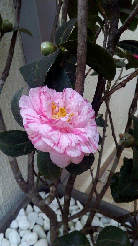 Uma nova cor desabrochou no meu jardim.