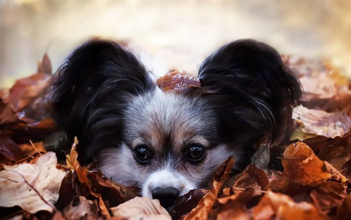 Download wallpapers cute dog, autumn, leaves, dog, big ears, pets