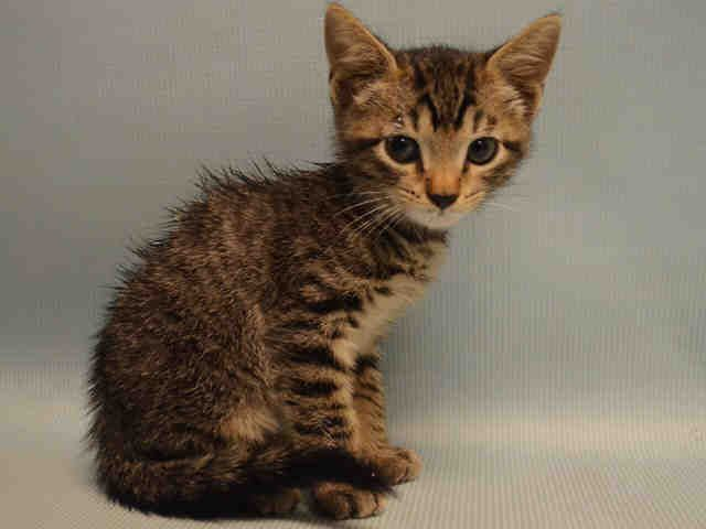 TRAJAN - A1086009 - - Manhattan  **TO BE DESTROYED 08/23/16** KITTENS DON'T GET ANY CUTER THAN TRAJAN! BROUGHT TO THE SHELTER IN A LARGE PLASTIC CONTAINER! This little guy is only 4 weeks old and should have his whole life ahead of him. He came in all by himself and needs some help to eat on his own. This lovely kitten will make a great companion with some time, food, and TLC. Please advocate for him tonight. Apply to foster this sweet baby! Please Share:-  Click fo