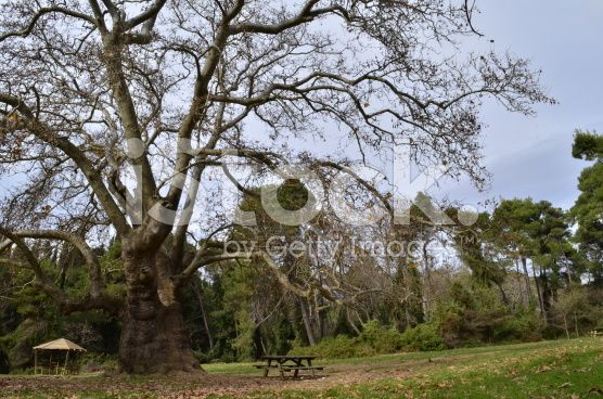 plane forest tree bench royalty-free stock photo