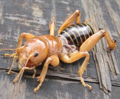 Jerusalem Cricket- calling this one beautiful is a stretch! Also called potato bugs.