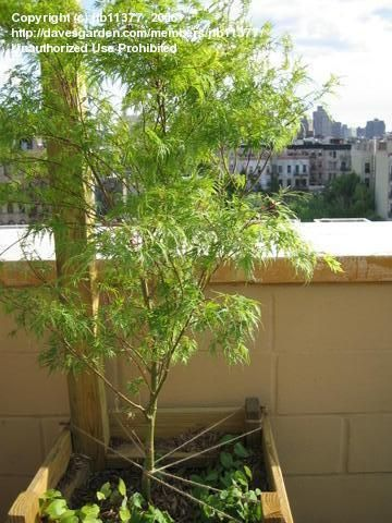 Tips on planting Japanese Maples in containers