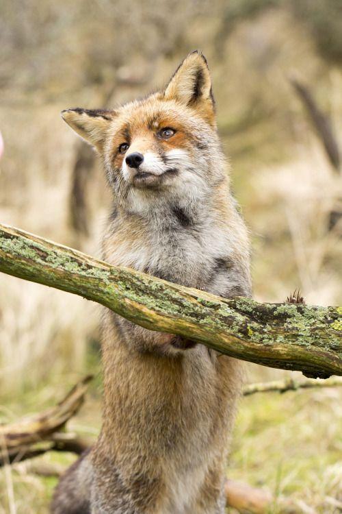 "beautiful-wildlife: "" The Cutest Fox Ever by Angela Louwe """