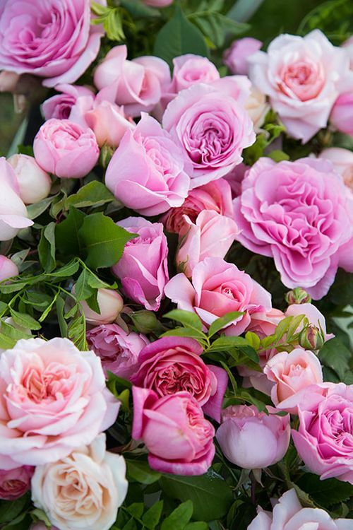 Pink roses...I want them.