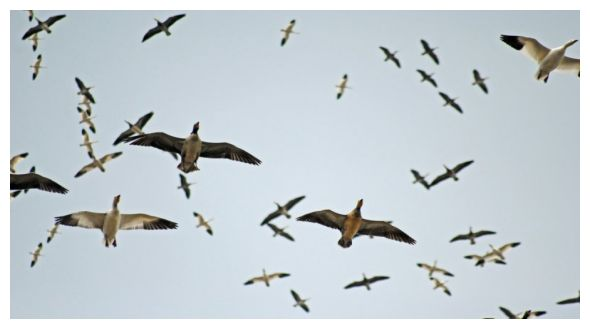 Snow Goose Hunts - ShowMeSnowGeese.com |
