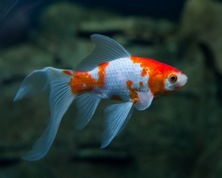 17 best images about comet goldfish on pinterest what 39 s for Outdoor goldfish for sale