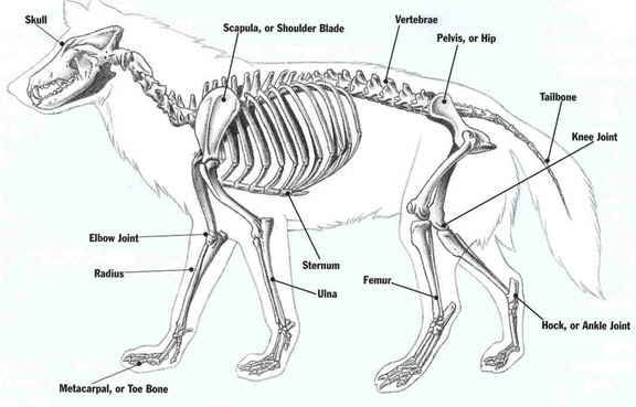 Wolf Skeleton diagram.
