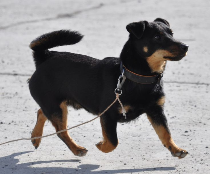 lancashire heeler dog photo | Lancashire Heeler | The Life of Animals