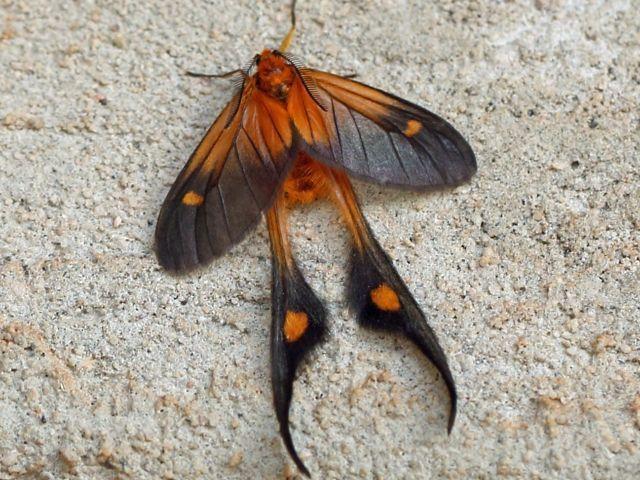 fulveolans long tailed burnet moth