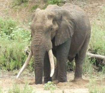 Kruger park tusker